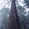 Pseudotsuga menziesii<br /> This Douglas fir suffered a lightening strike many years ago that split the bark on the tree from top to bottom! Over the years since the crack has slowly filled in with callus & the tree continues to grow.