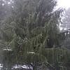 Picea smithiana<br /> Himalayan Spruce