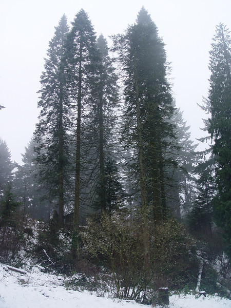 Abies grandis<br /> Planted in the 1930's