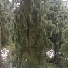Picea breweriana<br /> Brewers Spruce