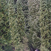 Thuja occidentalis<br /> Curiously narrow & upright!