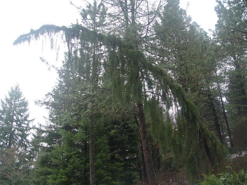 Sequoiadendron giganteum 'Pendulum'.<br /> A particularly old specimen fo this cultivar that people either love or hate.