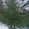 Pinus armandii<br /> Chinese White Pine