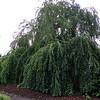 Cercidiphyllum japonicum 'Pendulum,