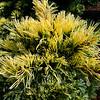 Pinus parviflora 'Goldilocks' 2