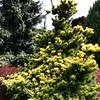 Pinus parviflora 'Goldilocks' 1