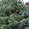 Pinus parviflora 'Berman' 1