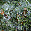 Pinus parviflora 'Berman' 2