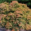 Acer palmatum 'Beni Hime' 1