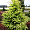 Metasequoia glyptostroboides 'Hamlet's Broom' 1