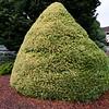 Pinus parviflora 'Ogon Janome'