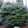 Acer palmatum 'Sharps Pygmy'