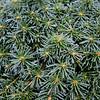 Abies lasiocarpa 'Duflon' 2