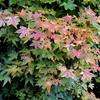 Acer palmatum 'Beni Hime' 2