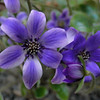 The Miller Garden Hepatica collection