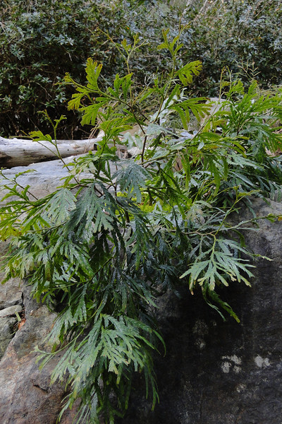 Fokienia hodginsii <I>The only species in it's Genus this rare Chinese Conifer can apparently grow to a 100' in the wild but often behaves more like a rock garden plant in Western gardens!</I>