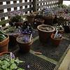 The Miller Garden Hepatica collection