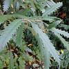 Lithocarpus densiflorus attenuato-dentatus