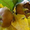 Mespilus germanica