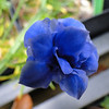 Gentian Double Form