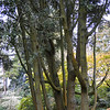 Quercus chrysolepsis