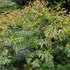 Salix fargesii