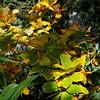 Quercus pontica