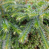 Cunninghamia konishii 'Little Leo'<br /> With some serious reversion going on!