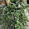 Lonicera crassifolia
