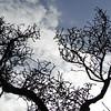 Ulmus parvifolia 'Hokkaido'