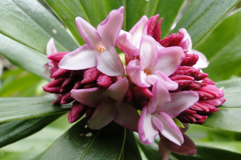 Daphne odora 'Aldens Regal Red'
