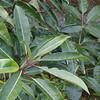 Hydrangea intergrifolia & Schefflera delavayi