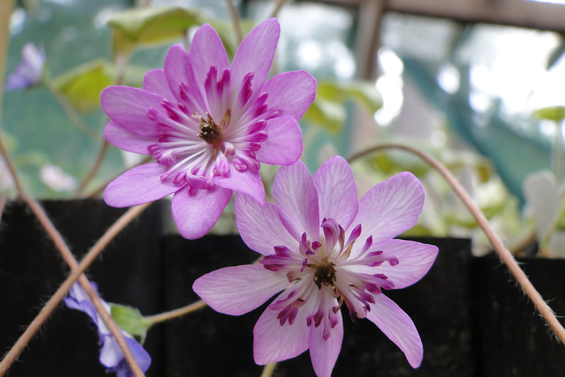 Hepatica Collection
