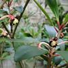 Ternstroemia gymnanthera<br /> (Syn. Ternstroemia japonica)