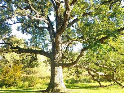 MA 13 Quercus alba