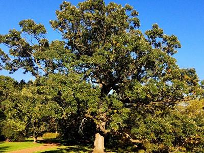 MA 14 Quercus alba