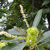 Castanea sativa  There was some debate as to weather or not this was <I>Castanea sativa</I> or the American Chestnut Castanea <I>Castanea dentata</I>. We decided that it was <I>Castanea sativa</I>.