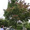 Acer henryi <br /> Performing well as a street tree.