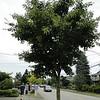 Acer capillipies