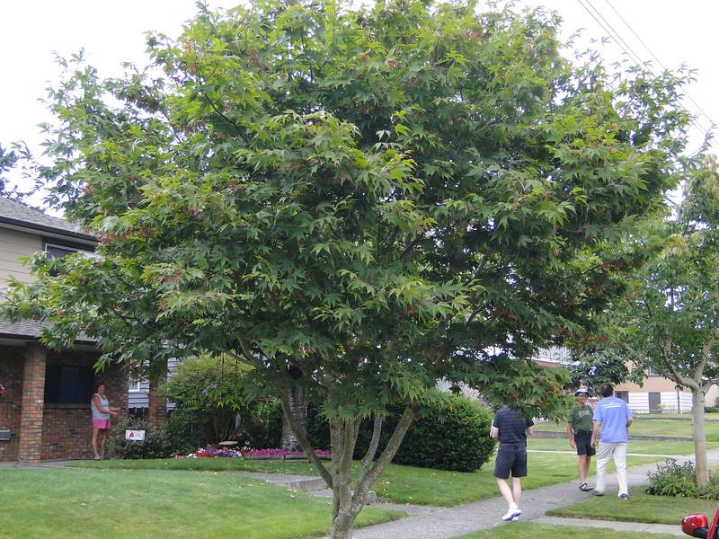 Acer palmatum 'Ozakazuki'