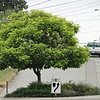 Catalpa bignonioides 'Aurea' Planted <I>off center</I> in the roundabout as there is a concrete box in the middle!