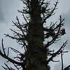 Buchholz Nsy - Acer saccharum Monumentale