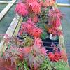 Buchholz Nsy - Acer palmatum Mikawa Yatsubusa Seedlings