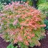 Buchholz Nsy - Acer palmatum Kunara Pygmy 1