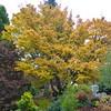 Buchholz Nsy - Acer palmatum Sangokaku