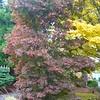 Buchholz Nsy - Acer palmatum Pixie