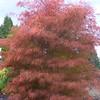 Buchholz Nsy - A palmatum Fairy Hair 1