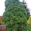 Buchholz Nsy - Acer bergerianum Miyasama Vatsubusa 1