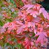 Buchholz Nsy - Acer palmatum Kunara Pygmy 3