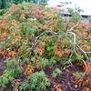 Buchholz Nsy - Acer japonicum Weeping Cascade 1